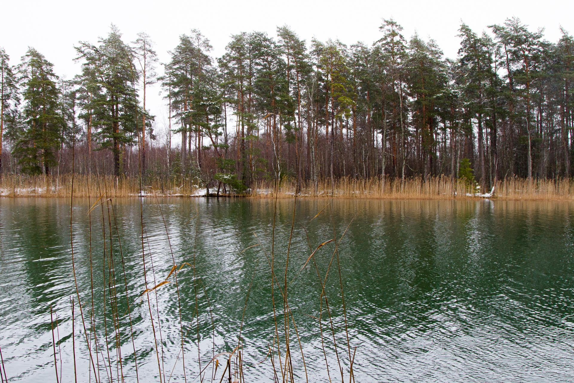Bild på en sjö och skog med jämnhöga träd på andra sidan och vassruggar vid strandkanten.