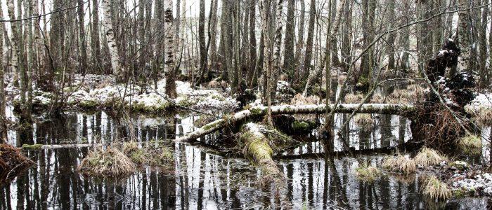 Skogsbild med trädstammar som speglar sig i vattenytan i våtmarken.