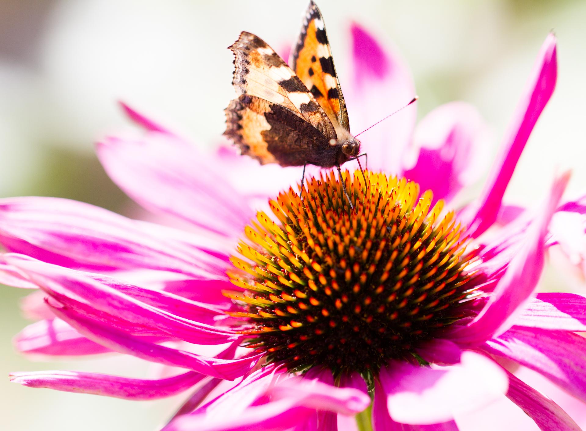 Röda solhatten med en nässelfjäril som dricker nektar