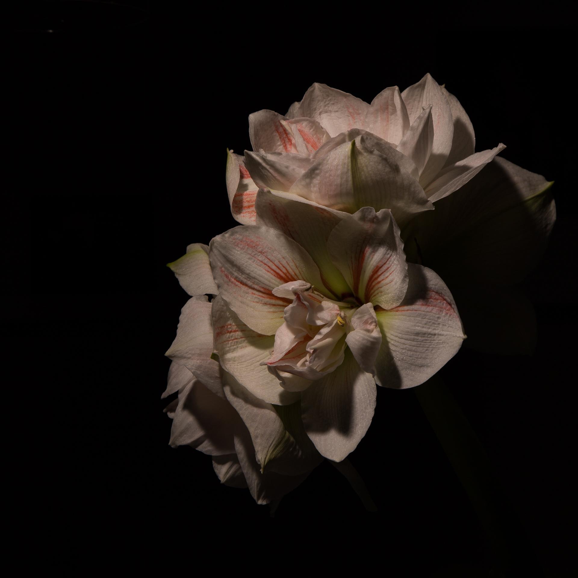 Amaryllis med mörk bakgrund
