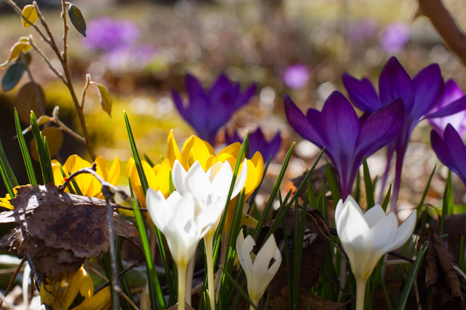 Blommande krokus i gult, vitt och lila