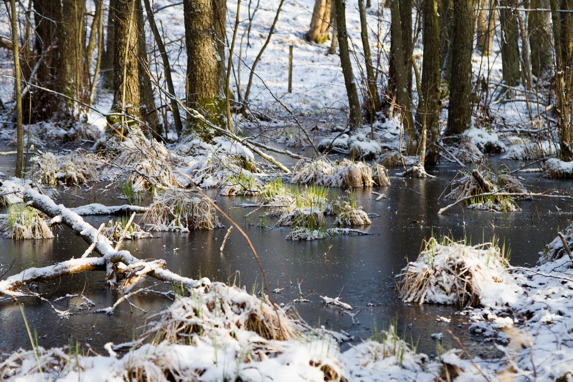 Bild på vårmark i skogen, med tunt snötäcken och tunn isskorpa på vattnet.