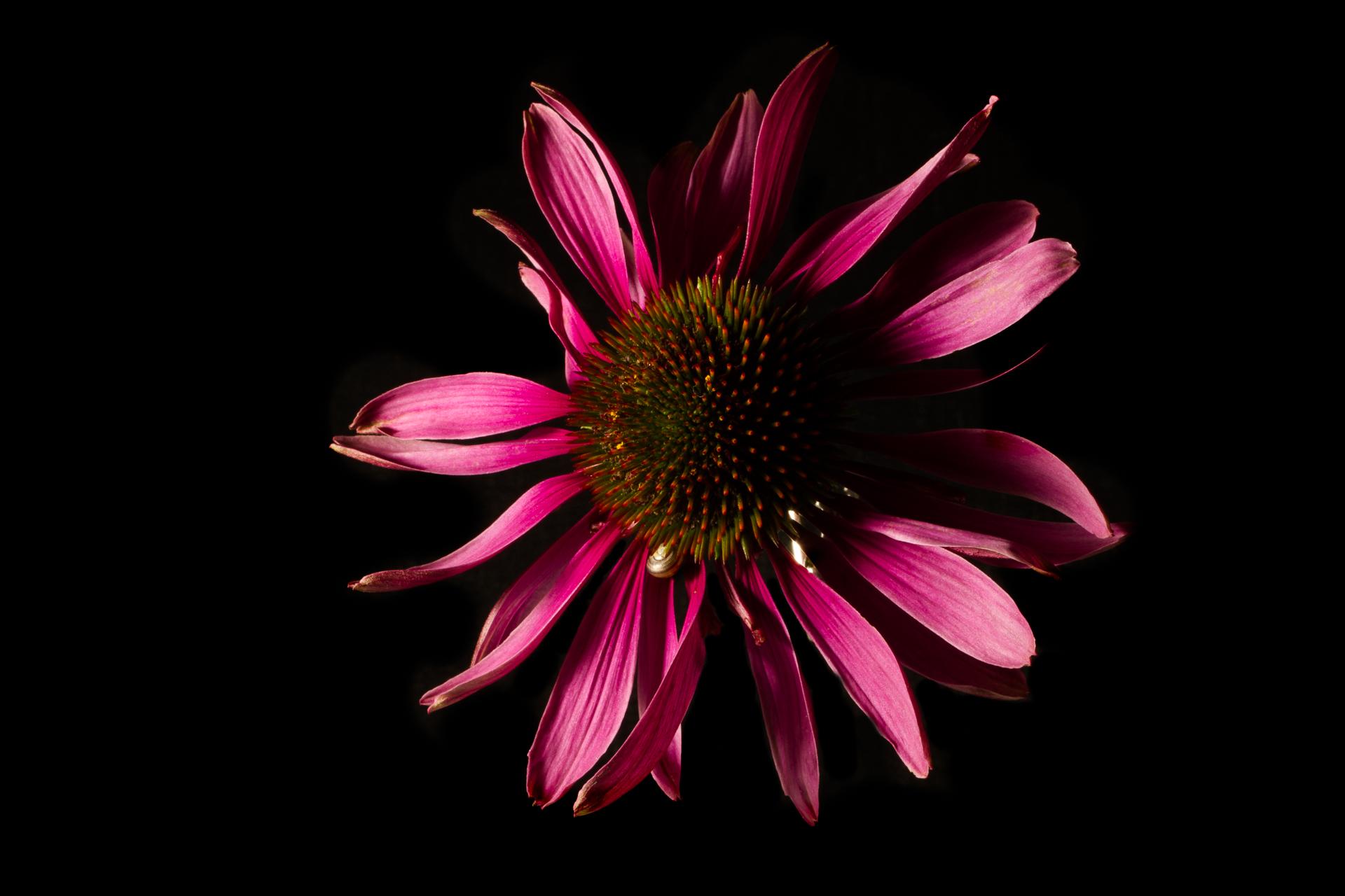 Rödsolhatt med svart bakgrund, blixtljus på blomman