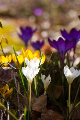 Mer vårblommor